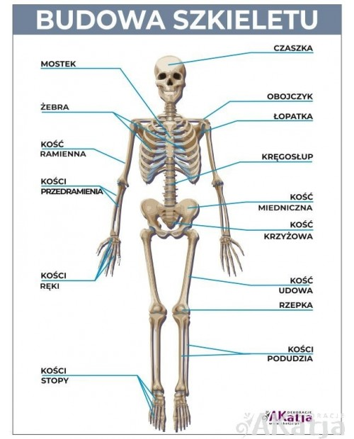 Naklejka: Budowa szkieletu